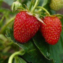 Maletto's strawberry